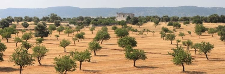 Biking to Ostuni_Masseria & Trees panorama