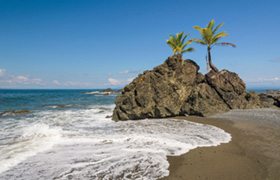 Coconut Palms (Cocos nucifera) on rocks at the beach, Golfo Dulce, Puntarenas Province, Costa Rica