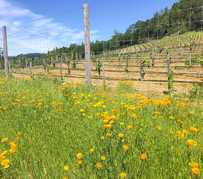 California poppies and vineyards