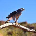 Peregrine Falcon, Acadia National Park, VBT Bike Tour