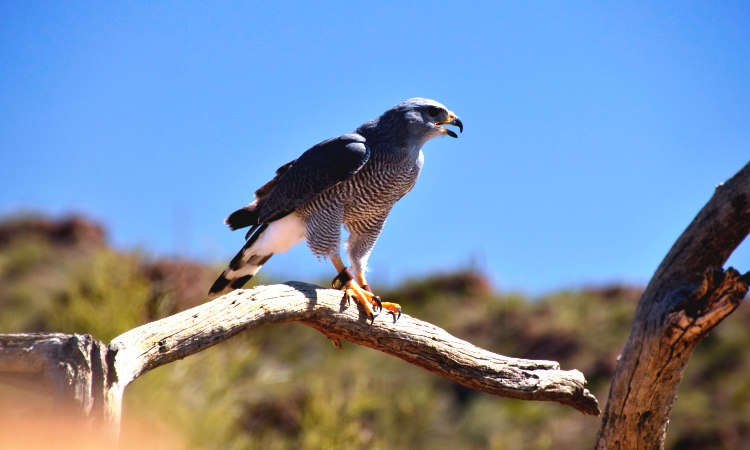 Peregrine Falcon, Acadia National Park, VBT Bike Tour