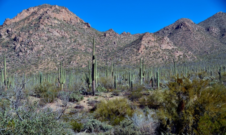 Cactus, Saguaro national Park, VBT Arizona bike tour