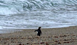 Tawaki Penguin release