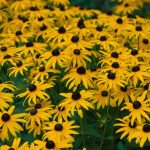 Vermont: Champlain Valley and Islands, Black Eyed Susans