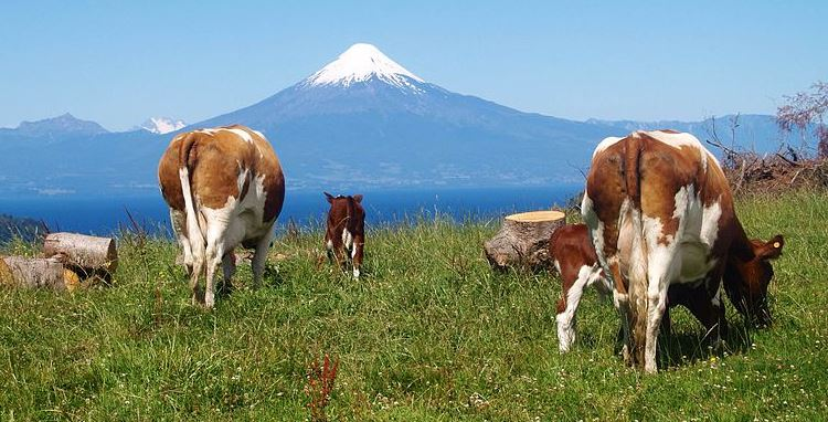 Chile cattle