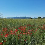 Spain's Costa Brava: Cycling Dali's Landscapes Field of Poppies