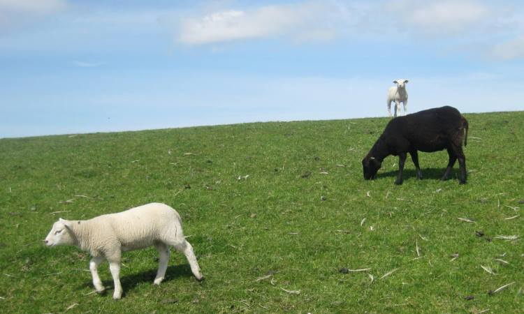 texel sheep, blog